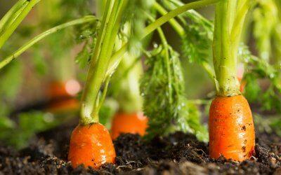 Se cache-t-il un sol contaminé sous votre potager?